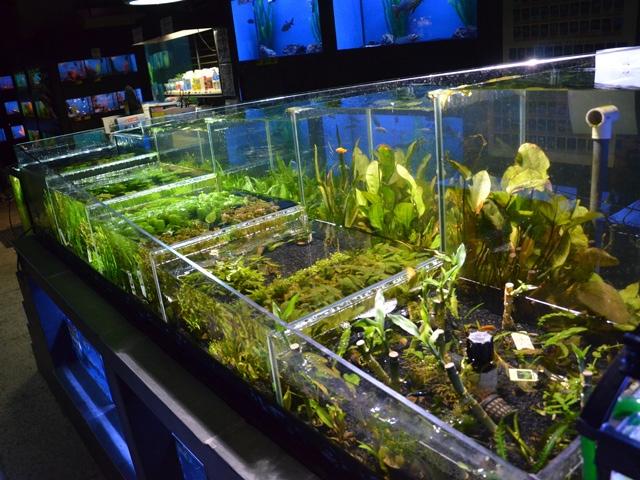 plantes aquatiques d 39 aquarium animaux guide d 39 achat fut. Black Bedroom Furniture Sets. Home Design Ideas