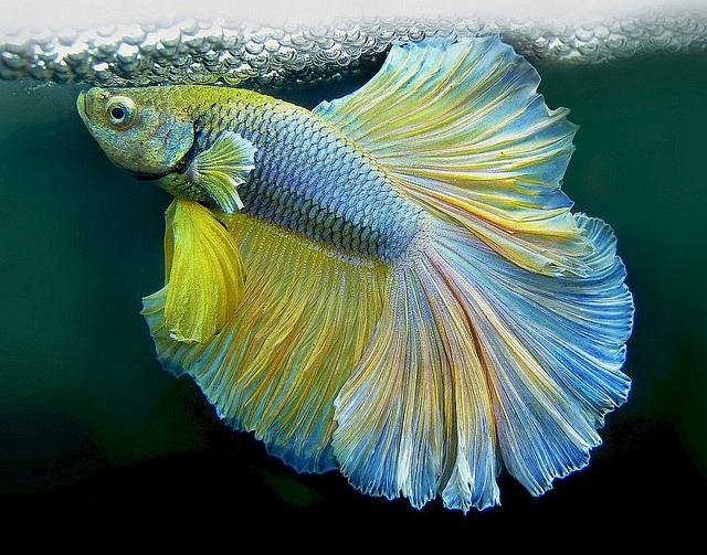 Histoire en queue de poisson image drole publi e le 6 for Achat poisson combattant