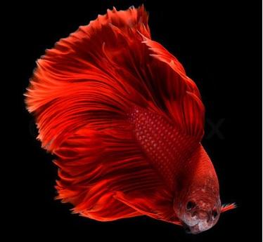 Blog conseils guide d 39 achat et astuces for Achat poisson combattant